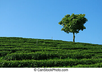 Lonely Tree in tea plantation