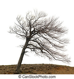 Lonely naked tree with roots on the hill isolated on white