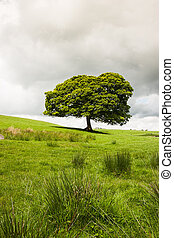 Lonely tree on the pasture in Yorkshire Dales, Great Britain