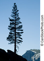 Silhouete of a tree against a clear background in Yosemite Valley