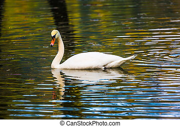 Lonely white swan swims and picturesquely reflects in the...