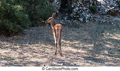 Lonely wild red deer, fawn, Cervus elaphus, at Parnitha forest mountain, Greece.