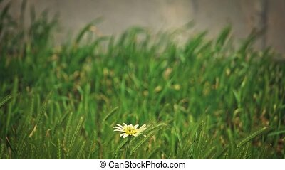 Lonely yellow flower sways with the wind in the field of...