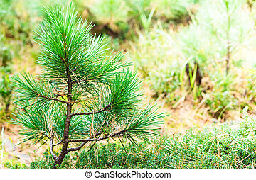 Lonely young pine tree in a summer forest