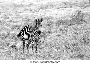 Lonely zebra image in black and white