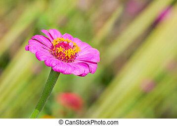 Lonely Zinnia flower in a summer garden