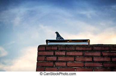 Lonesome pigeon standing on a brick chimney
