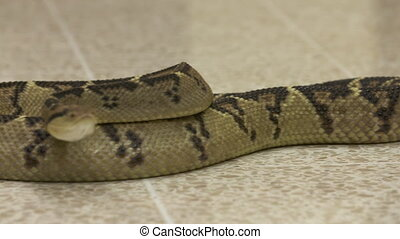 Long Body   Coiled Bushmaster Snake, Costa Rica - Extreme...