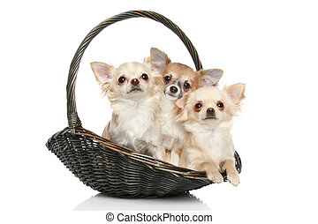 Long coat chihuahua in wattled basket