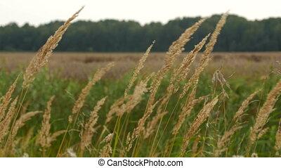 long dry grass swing in wind,shaking wilderness
