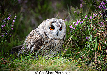 A close up of a long eared owl hiding in the heather. it appears to be crouching down and looks alert with large orange eyes