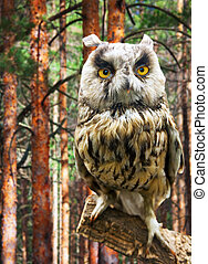Long-eared Owl against forest background