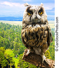 Long-eared Owl against nature background