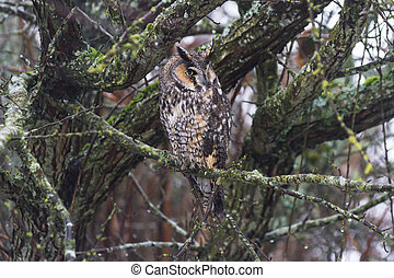 long eared owl and well Camouflage
