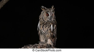 Long Eared Owl, asio otus, Adult, Normandy in France, Real...