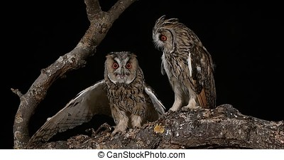 Long Eared Owl, asio otus, Adults, Pair, Normandy in France,...
