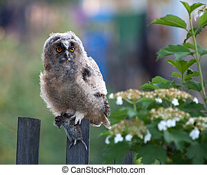 Long-eared Owl (chick) with prey (rodents).