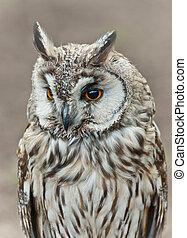 Long-eared Owl - portrait head bird of prey