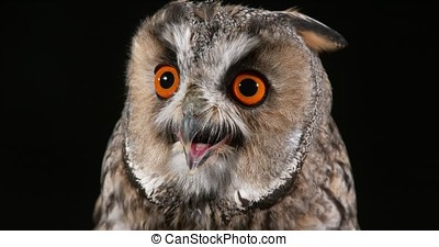 Long Eared Owl, asio otus, Portrait of Adult, Normandy in...