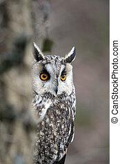 Long-eared owl, Asio otus, single bird head shot, captive ...