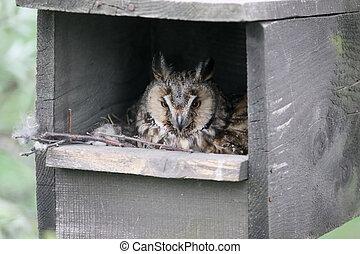 Long-eared owl, Asio otus. single bird in nest box, Hungary...