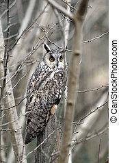 Long-eared owl, Asio otus, single bird in scrub, captive ...
