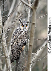 Long-eared owl, Asio otus, single bird in scrub, captive...