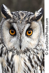 Long-eared owl, Asio otus, single bird head shot, captive...