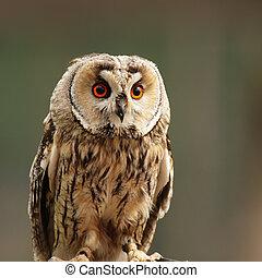 Long-eared Owl (Asio otus) sitting on a fence.