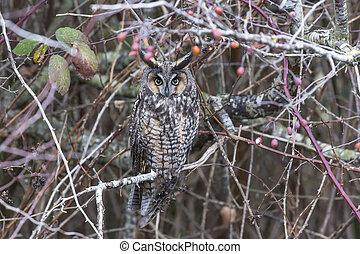 long eared owl at Delta  BC Canada