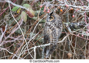 long eared owl at Vancouver BC Canada, Dec. 2018