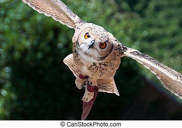 Long-eared Owl captured in flight