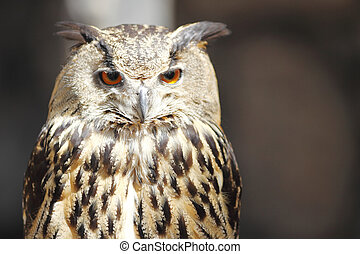 Long-eared owl, close-up portrait