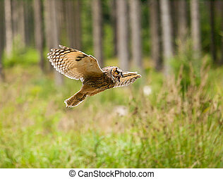 Long-eared owl fly with scream trought forest - Asio otus ...