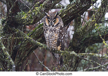 long eared owl, from Delta BC Canada