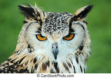 LONG EARED OWL HEADSHOT