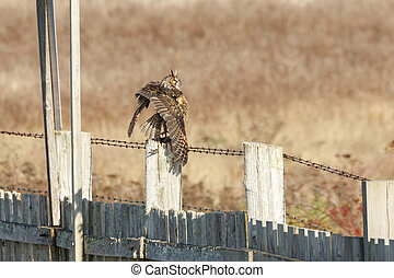 Long eared Owl hunting for food at BC Canada