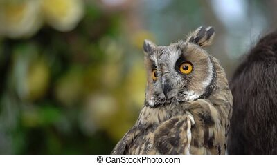 Long Eared Owl in a forest at cloudy summer day