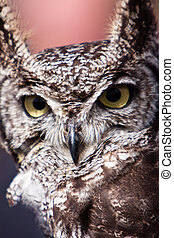 Long eared owl bird head in closeup
