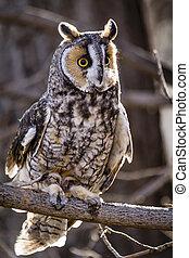 Long-eared Owl in fall forest setting - Long eared owl ...