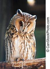 Long-eared Owl is sitting on branch in zoo