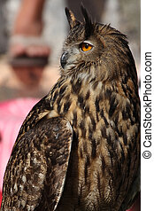 Long-eared owl large bird of prey closeup