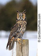 Long-eared owl sitting on fencepost