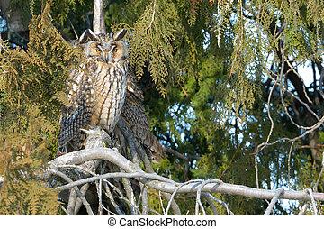 Long Eared Owl on fir tree