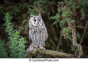 An alert long eared owl is perched on a branch looking slightly up to the right with large wide open orange eyes and it is surrounded by gorse