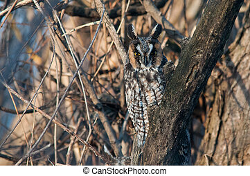 Long-eared Owl perched in a tree.