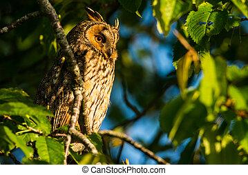 Long-eared owl sitting in a tree Asio otus