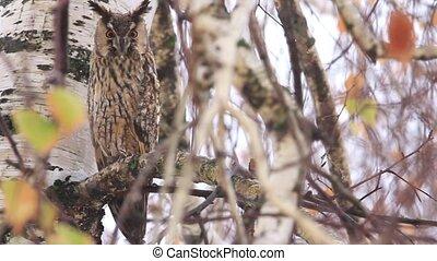 Long-eared owl sitting on a birch branch, wildlife, animals...