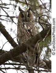 Long-eared Owl sitting on a tree.