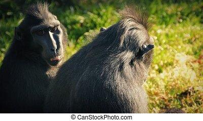 Long Faced Monkeys Enjoying The Sun - Crested macaque...